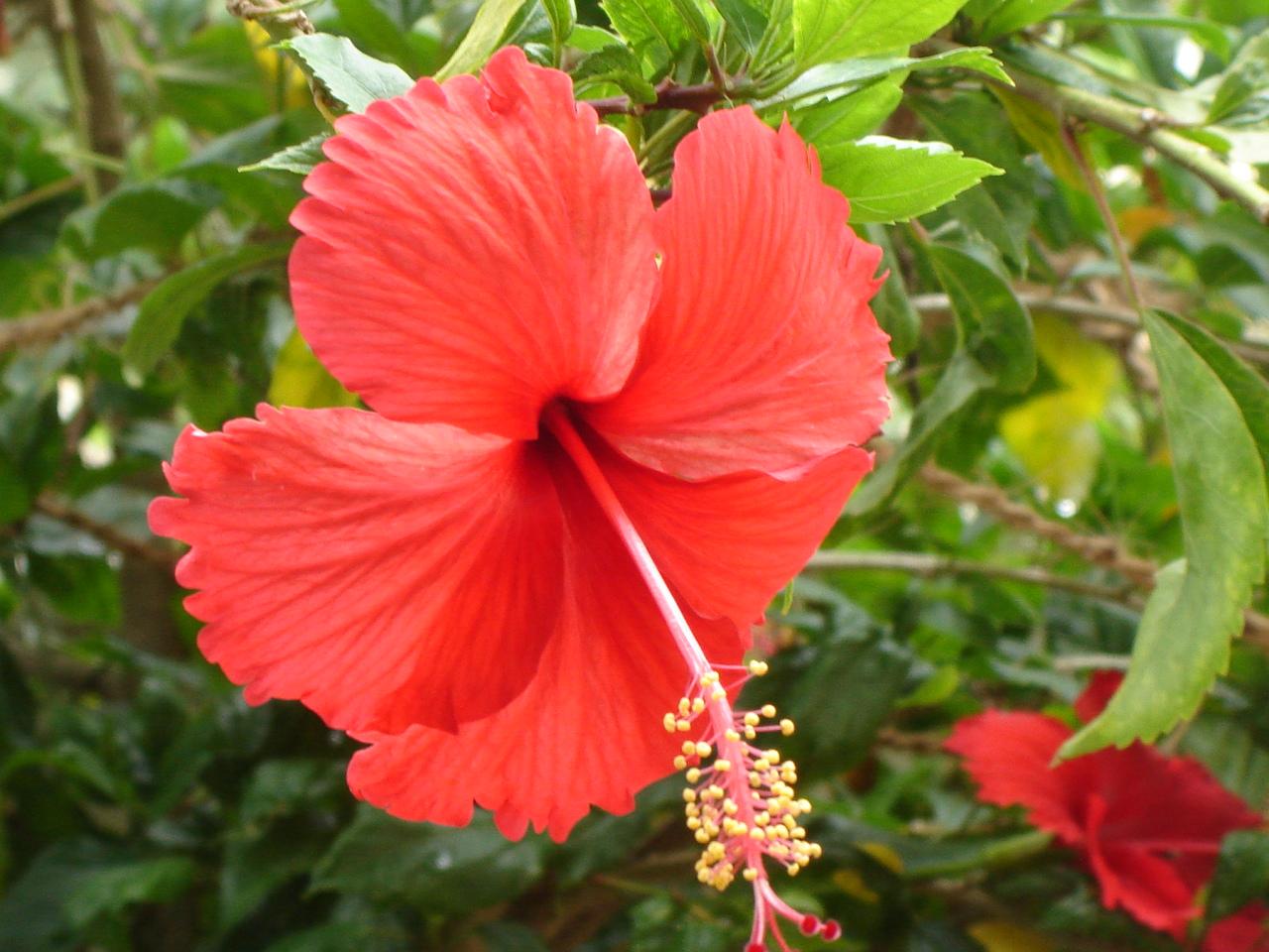 Jamaica hibiscus flowers images flower wallpaper hd jamaica hibiscus flowers images flower wallpaper hd hibiscus flower jamaica images flower wallpaper hd agua fresca izmirmasajfo