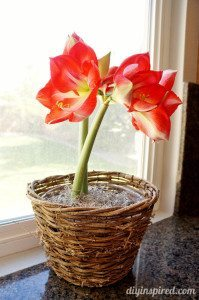 http://www.diyinspired.com/wp-content/uploads/2015/02/Amaryllis-Plant-199x300.jpg