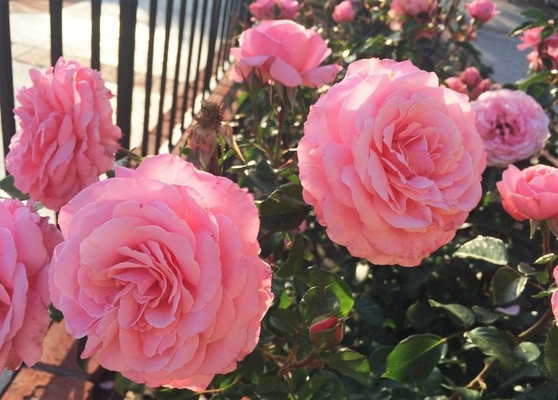 Basic Tips For Watering And Pruning Roses Diy Inspired