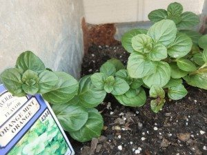 http://www.diyinspired.com/wp-content/uploads/2016/04/Growing-Herbs-Successfully-Orange-Mint-300x225.jpg