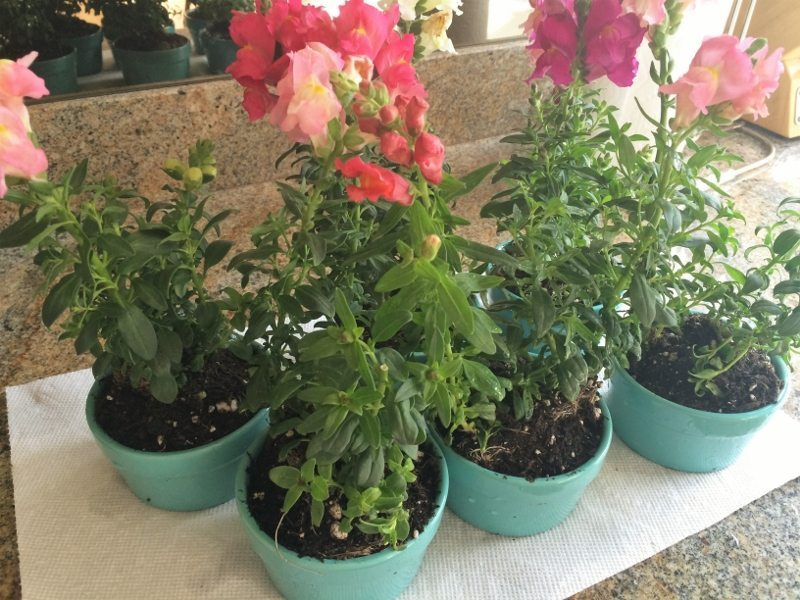 Potted Snap Dragons