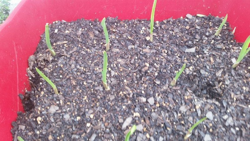 Grow Your Own Garlic (7)