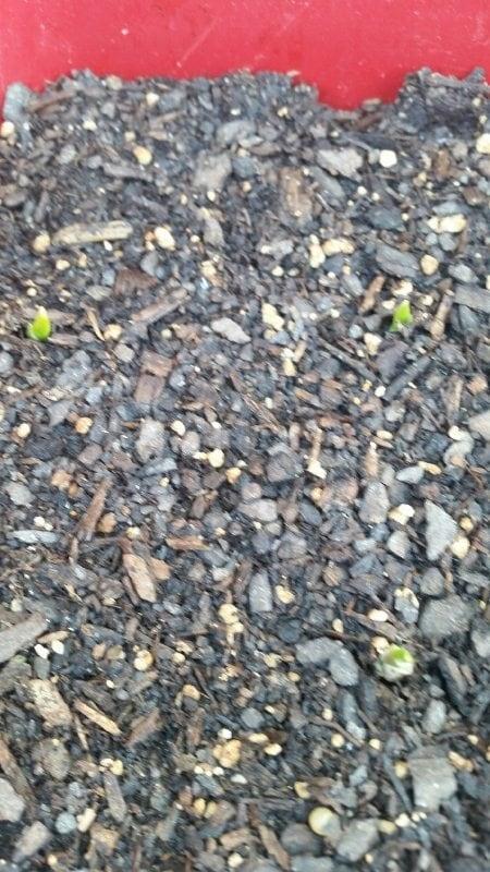 Grow Your Own Garlic (9)