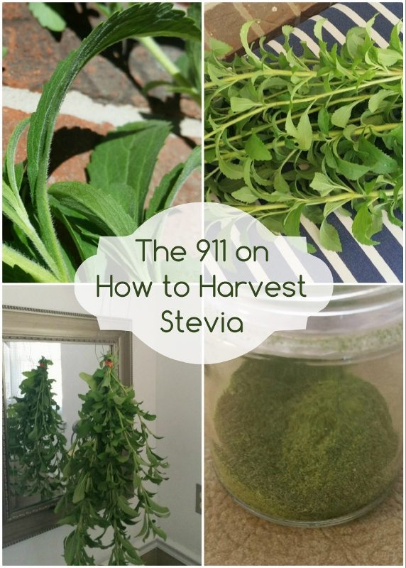 The 911 on How to Harvest Stevia - DIY Inspired
