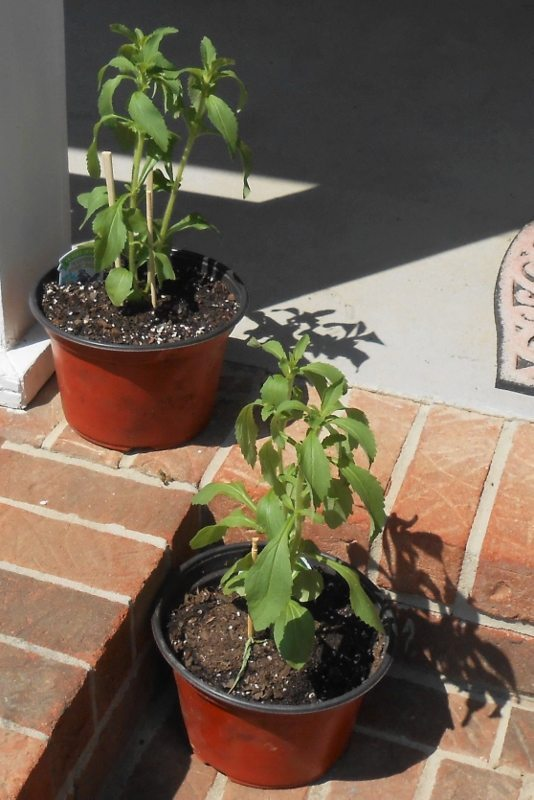 Growing Stevia How To Plant Grow And Harvest Stevia: The 911 On How To Harvest Stevia