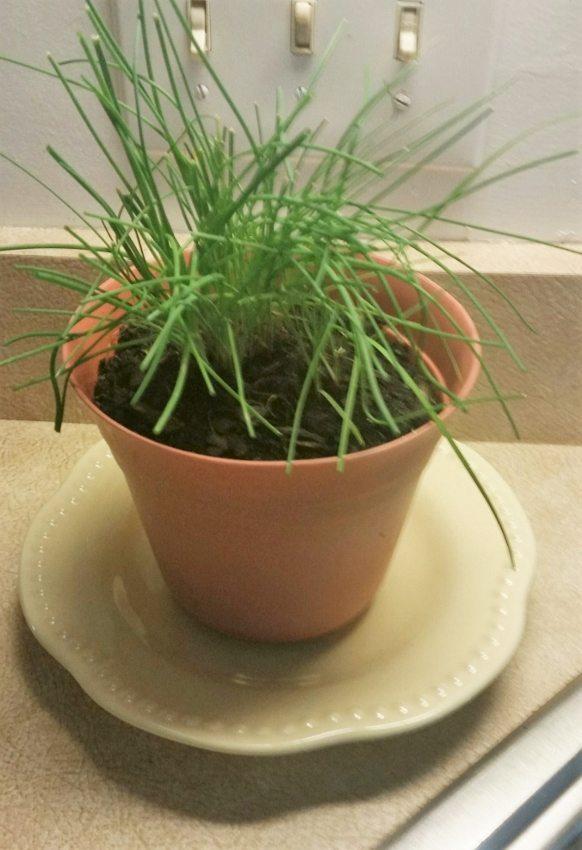 Growing Herbs Indoors (5)